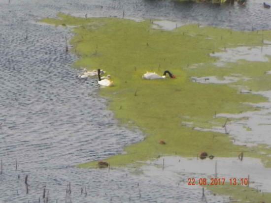 Cisne cuello negro/Balck-necked Swan