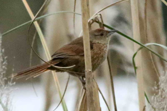 Espinero pecho manchado/Freckle-breasted Thornbird