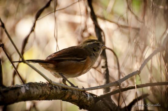 Monterita litoraleña/Grey-throated Warbling-Finch