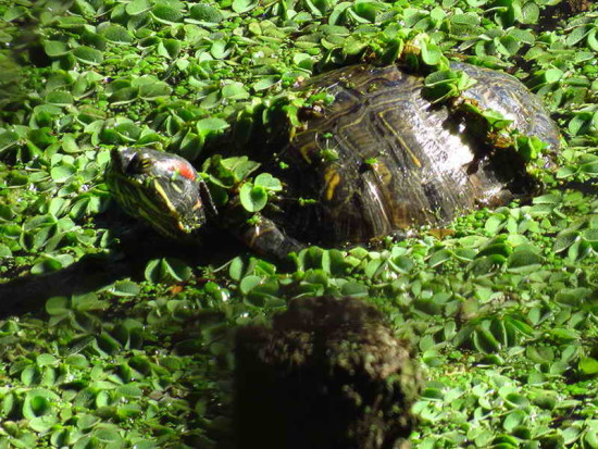 Tortuga de oregas rojos/Red-eared turtle