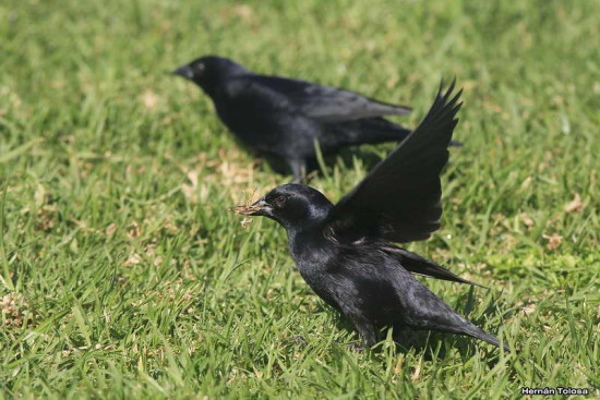 Tordo pico corto/Screaming cowbird