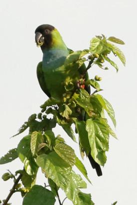Ñanday/Balck-hooded Parakeet