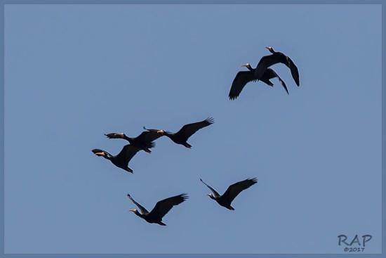 Cuervillo cara pelada/Bare-faced Ibis