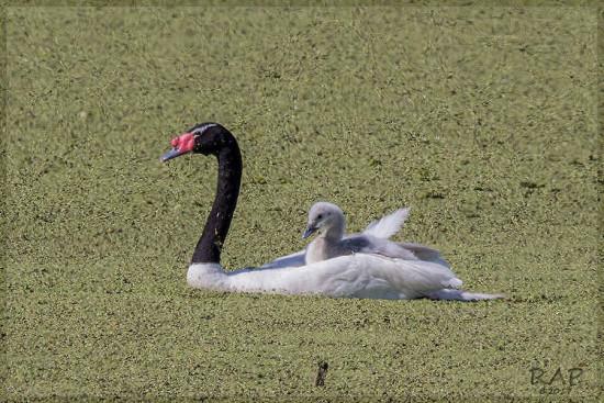 Cisne cuell negro/Black-necked Swan