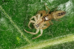 Arachosia sp