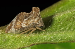 Entylia sp