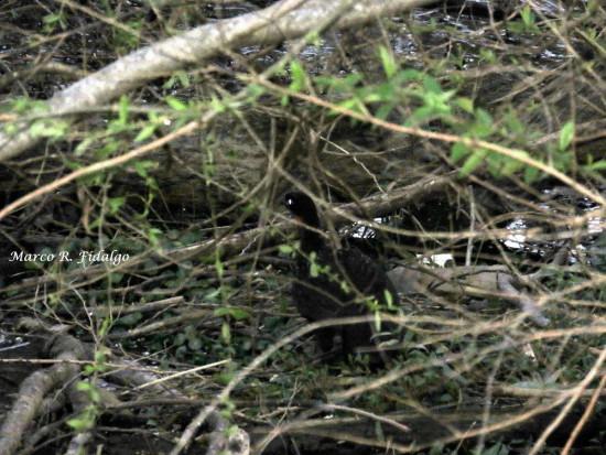Pava de monte común/Dsuky-legged Guan