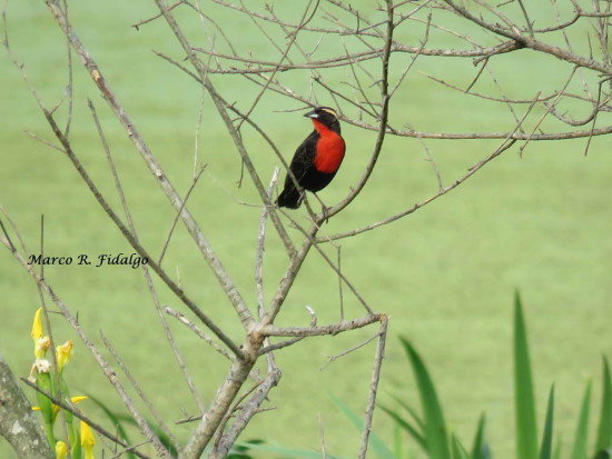 Pecho colorado/White-browed Meadowlark