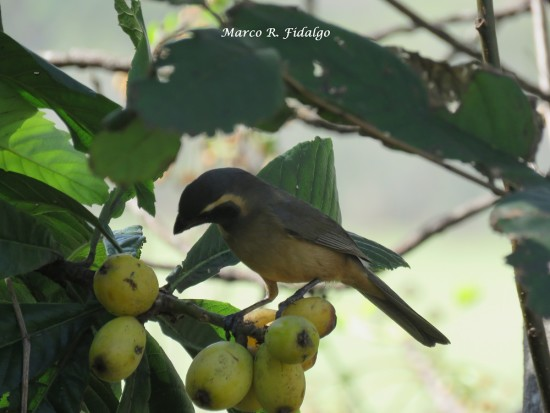 Pepitero-níspero/Saltator-loquat