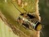 Platycorypha nigrivirga