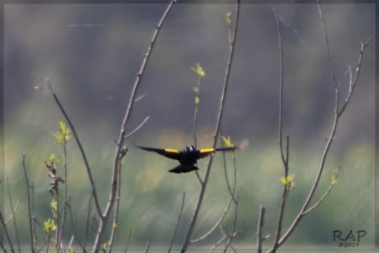 Varillero ala amarilla/Yellow-winged Balckbird