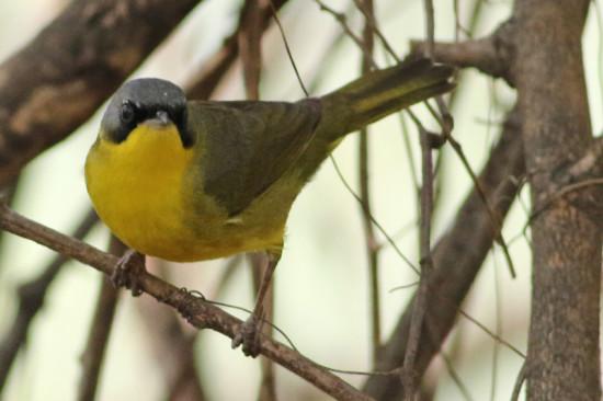 Arañero cara negro/Masked Yellowthroat