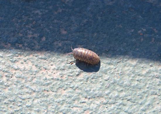 Bicho bolita/Pill bug