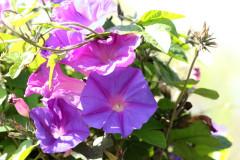 Campanilla violeta/Ocean blue morning glory