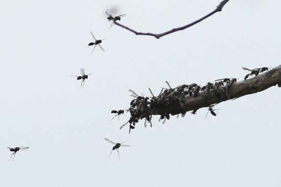 Camuatí/Camuati wasp