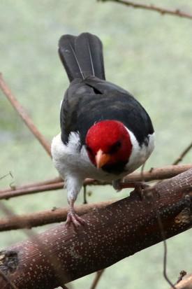 Cardenilla/Yellow-billed Cardinal