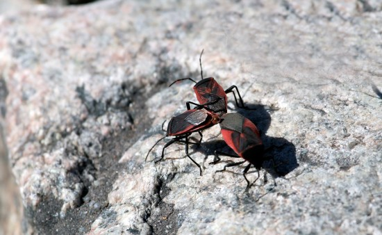 Chinche roja ovalada/Black and red bug