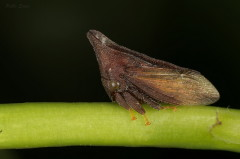 Enchenopa sp