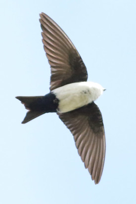 Golondrina barranquera/Blue-and white Swallow