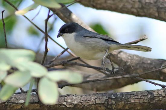 Monterita cabeza negra/Blacik-capped Warbling-Finch