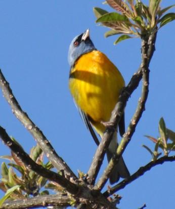 Narajanero/Blue-and-yellow Tanager
