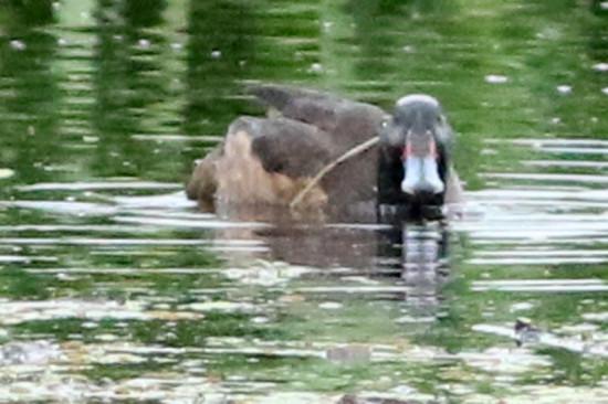 Pato cabeza negra/Black-headed Duck