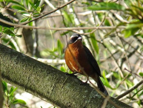 Sietevestidos/Balck-and-rufous Warbling-Finch