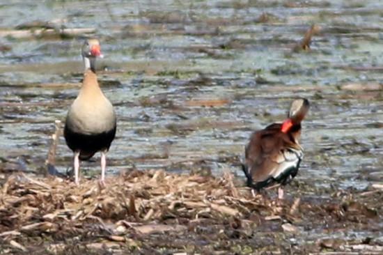 Sirirí vientre negro/Black-bellied Whistling-Duck