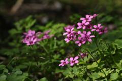 Vingarillo rosado/Pink sorrel