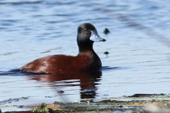 Pato zambullidor chico/Lake Duck