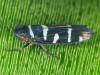 Balacha melanocephala