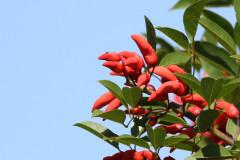 Ceibo/Cockspur Tree