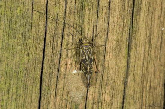 Cerastipsocus sp