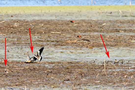 Capuchino-Tero común/Silver Teal-Southern Lapwing
