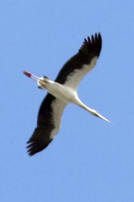Cigüeña/Magauari Stork