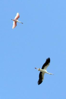 Cig[ueña-espátula/Stork-Spoonbill