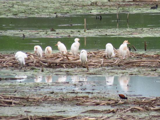 Gacita bueyera/Cattle Egret