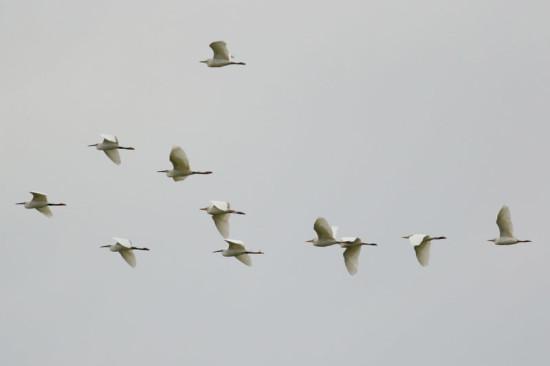 Garcitas/Egrets