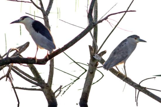 Garza bruja/Balck-crowned Night-Heron