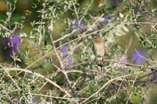 Mosqueta común/Bran-coloured Flycatcher