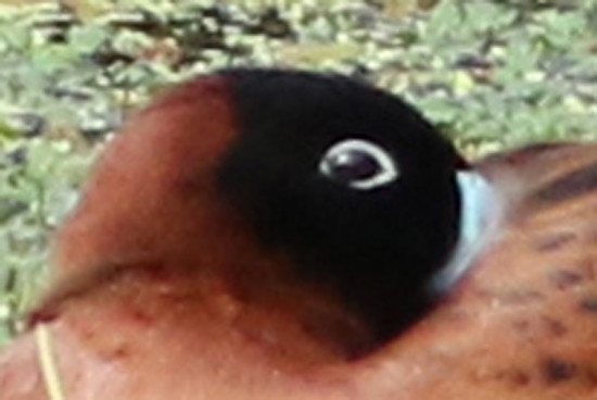 Pato fierro/Masked Duck