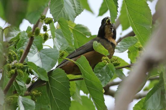 Pepitero de collar/Golden-billed Saltator