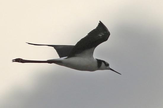 Tero real/Black-necked Stilt