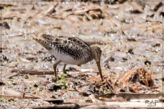 Becasina común/Southamerican Snipe