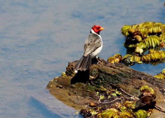 Cardeilla/Yellow-billed Cardinal