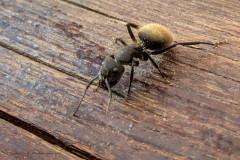 Hormiga carpintera/Carpenter ant