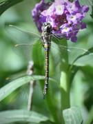 Libélula/Dragonfly