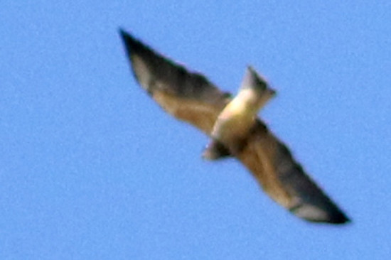 Aguilucho langostero/Swainson's Hawk