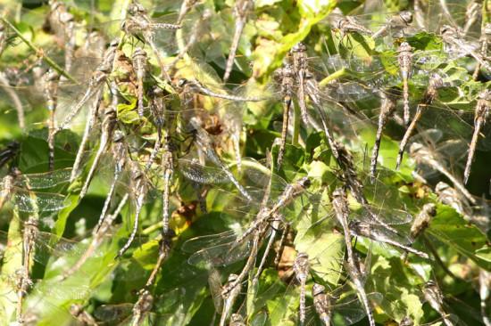 Libélulas/Dragonflies
