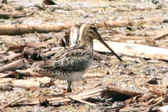 Becasina común/South American Snipe